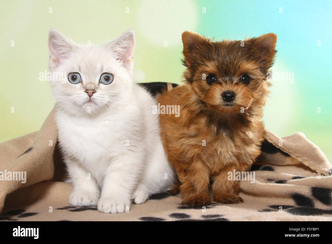 British Shorthair Kitten And Yorkshire Terrier Puppy Stock Photo