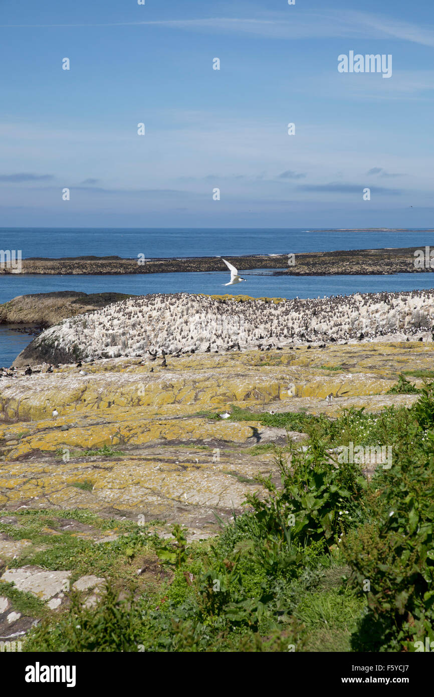 Inner Farne Island; Seabird Colony Northumberland; UK - Stock Image