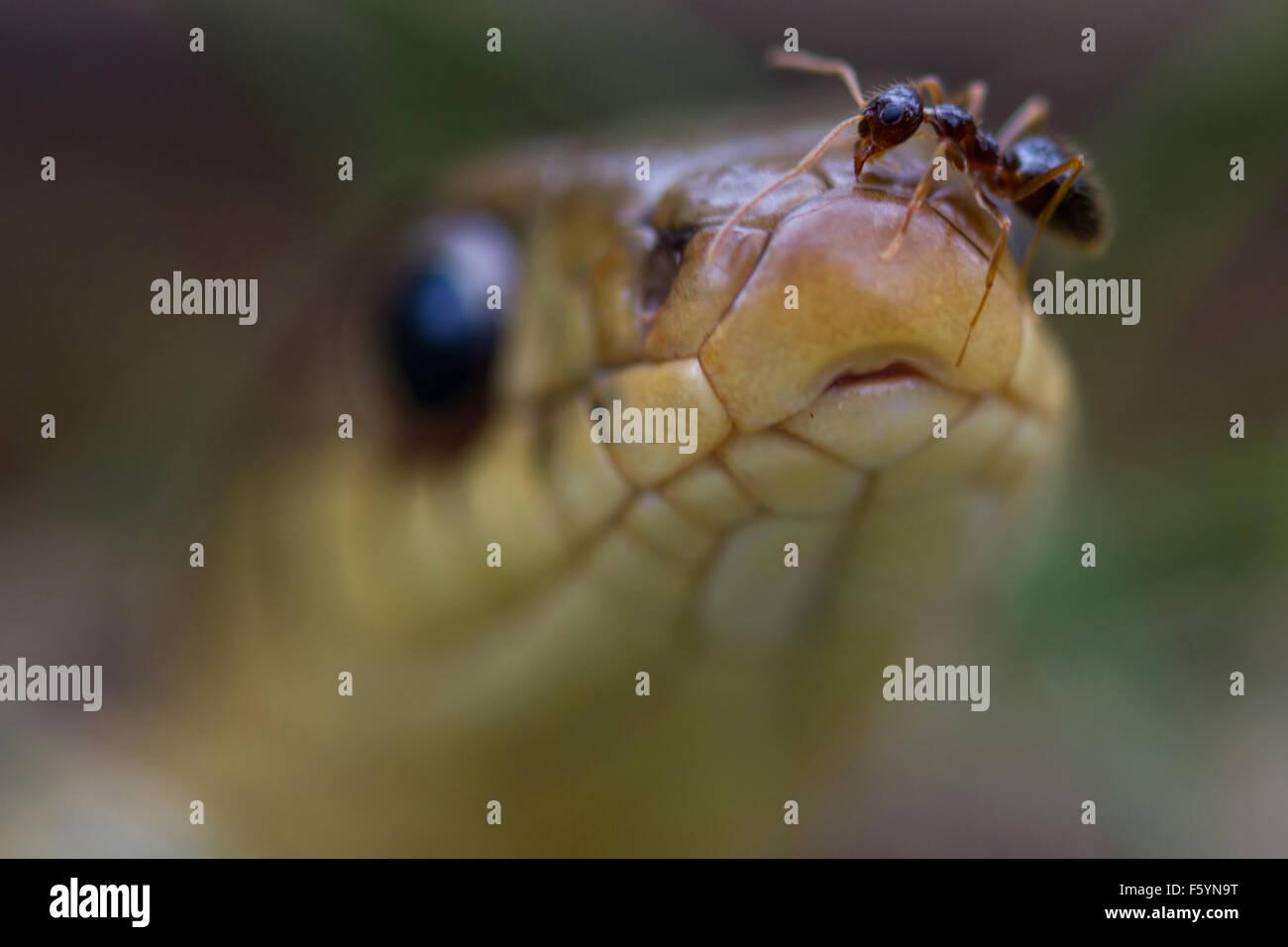 ant on snake - Stock Image