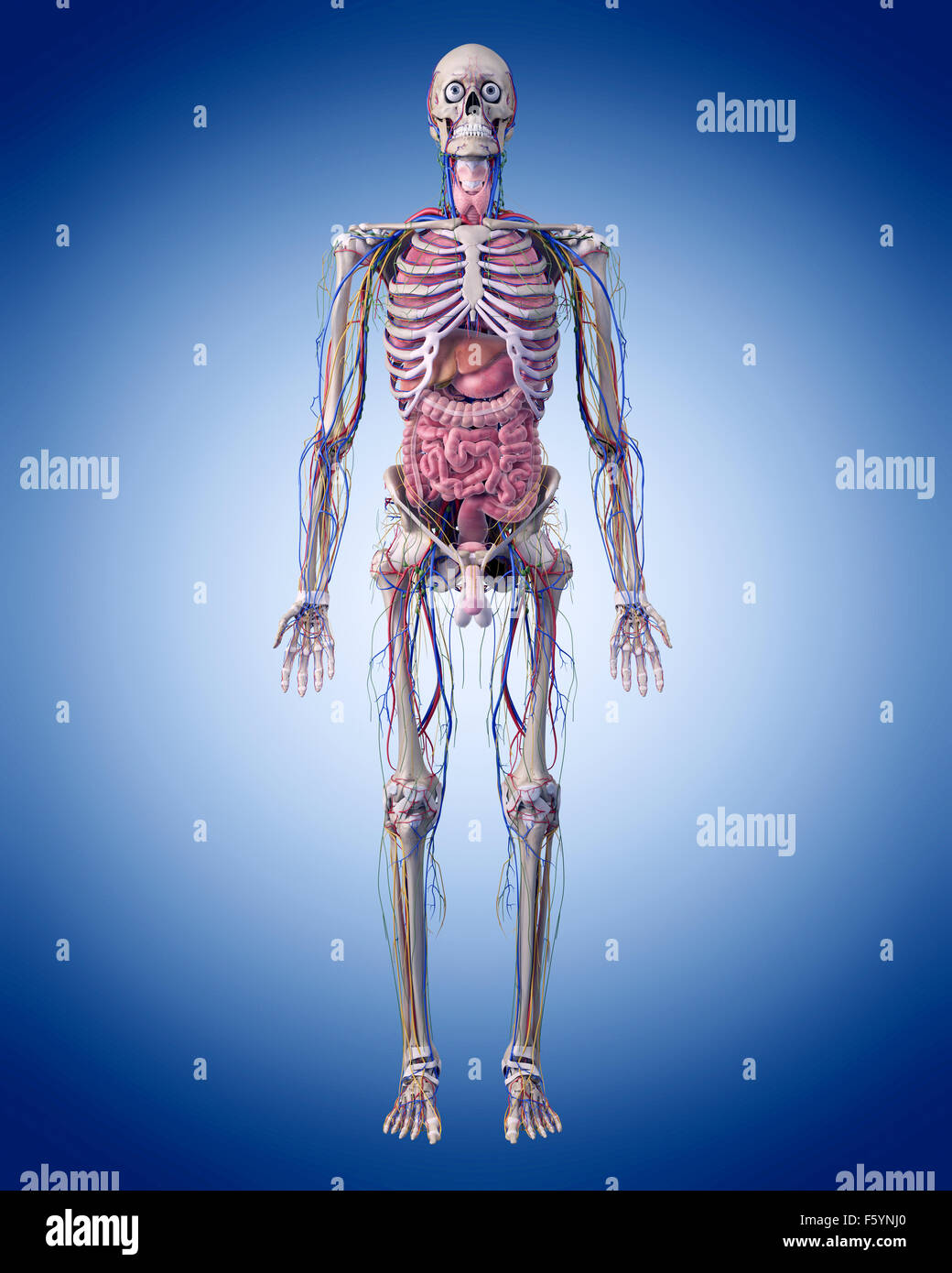 medically accurate illustration of the human anatomy - Stock Image