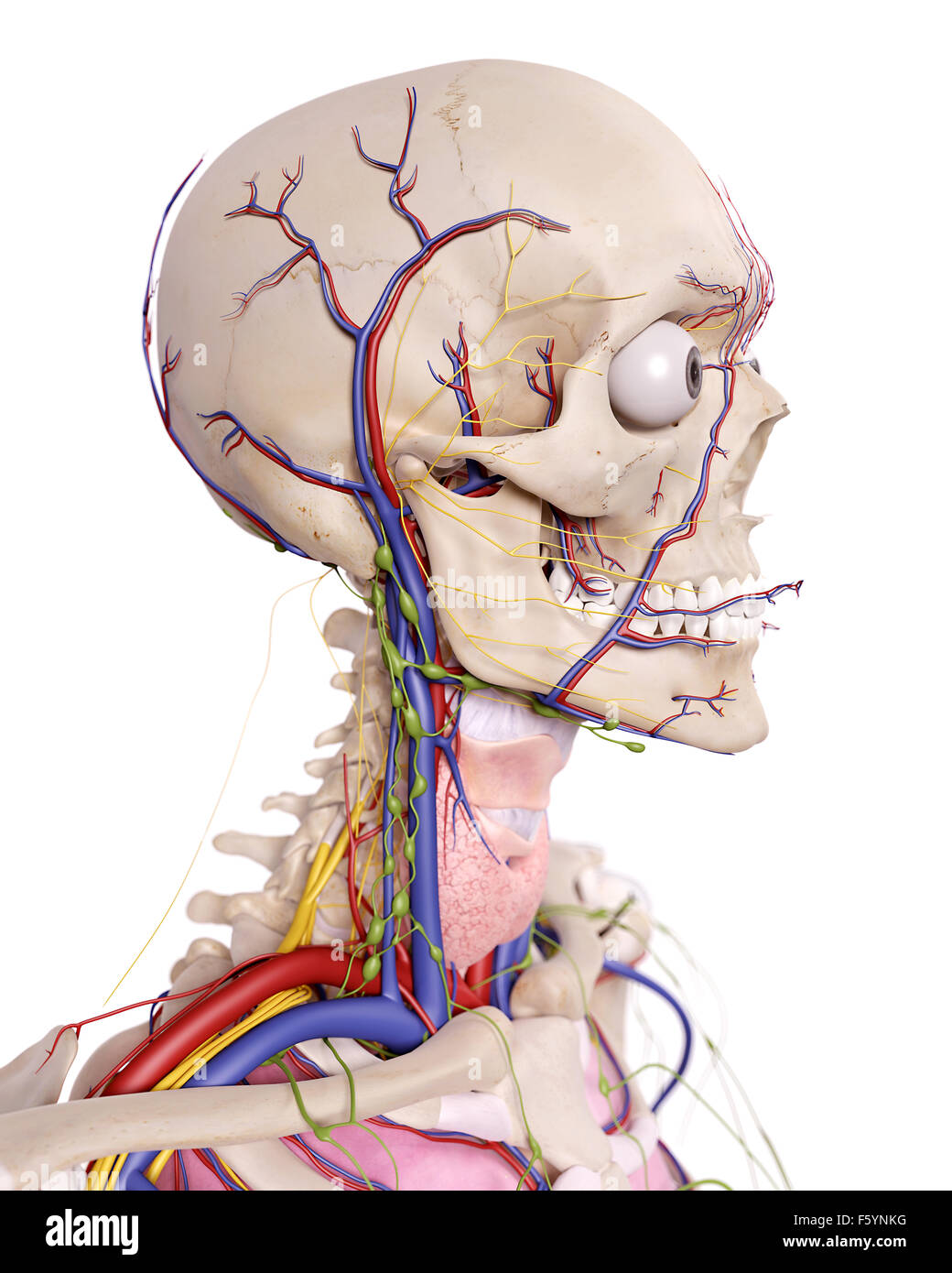 Head Neck Gland Stock Photos & Head Neck Gland Stock Images - Alamy