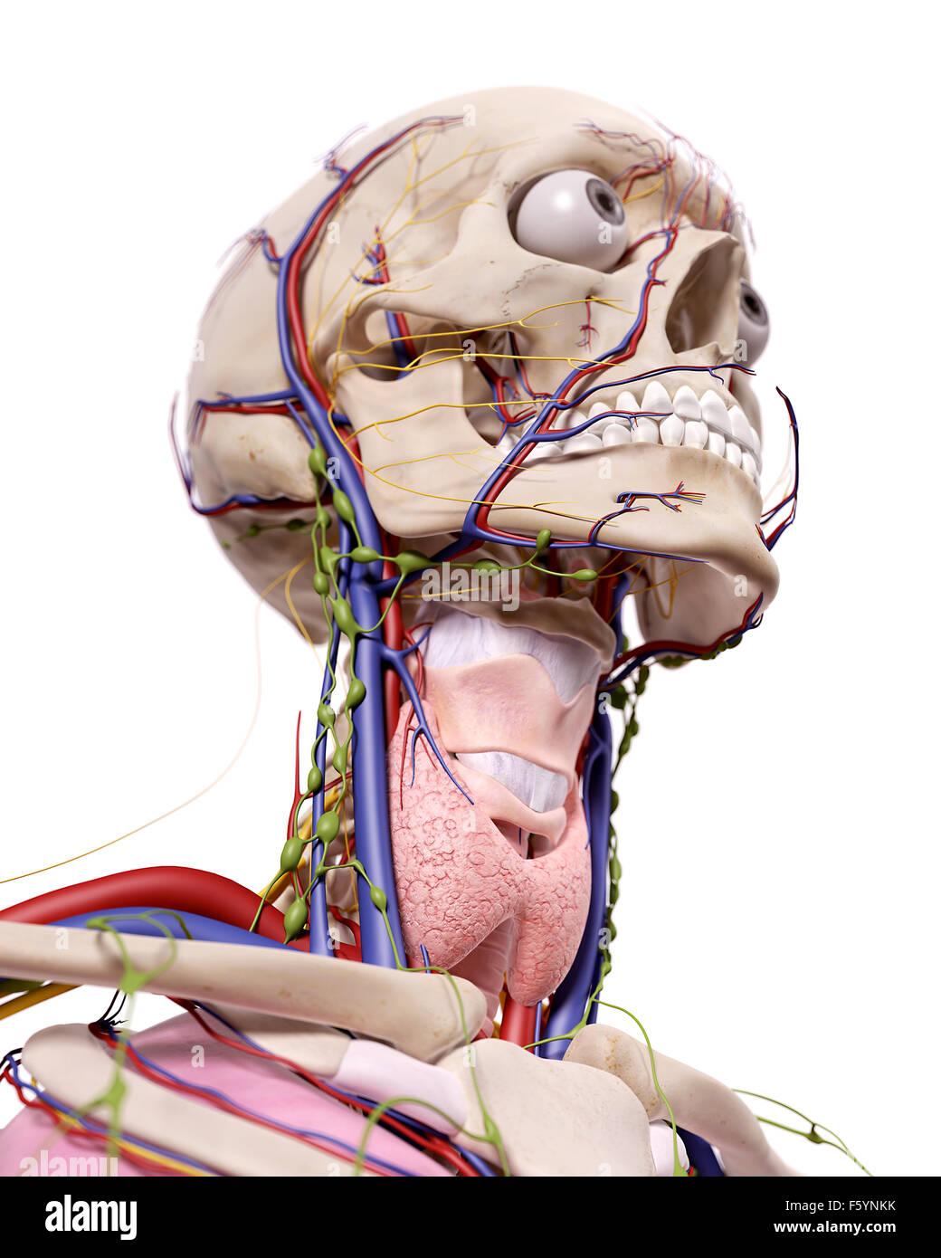 Human Skull Neck Larynx Illustration Stock Photos & Human Skull Neck ...