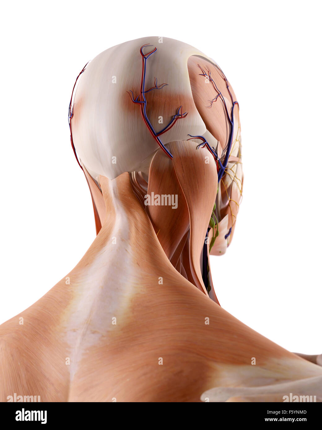 Neck Anatomy Stock Photos & Neck Anatomy Stock Images - Alamy