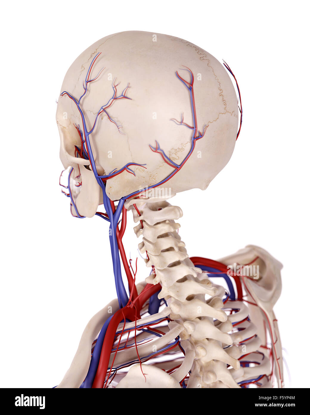 Blood Vessels Of The Head Stock Photos Blood Vessels Of The Head