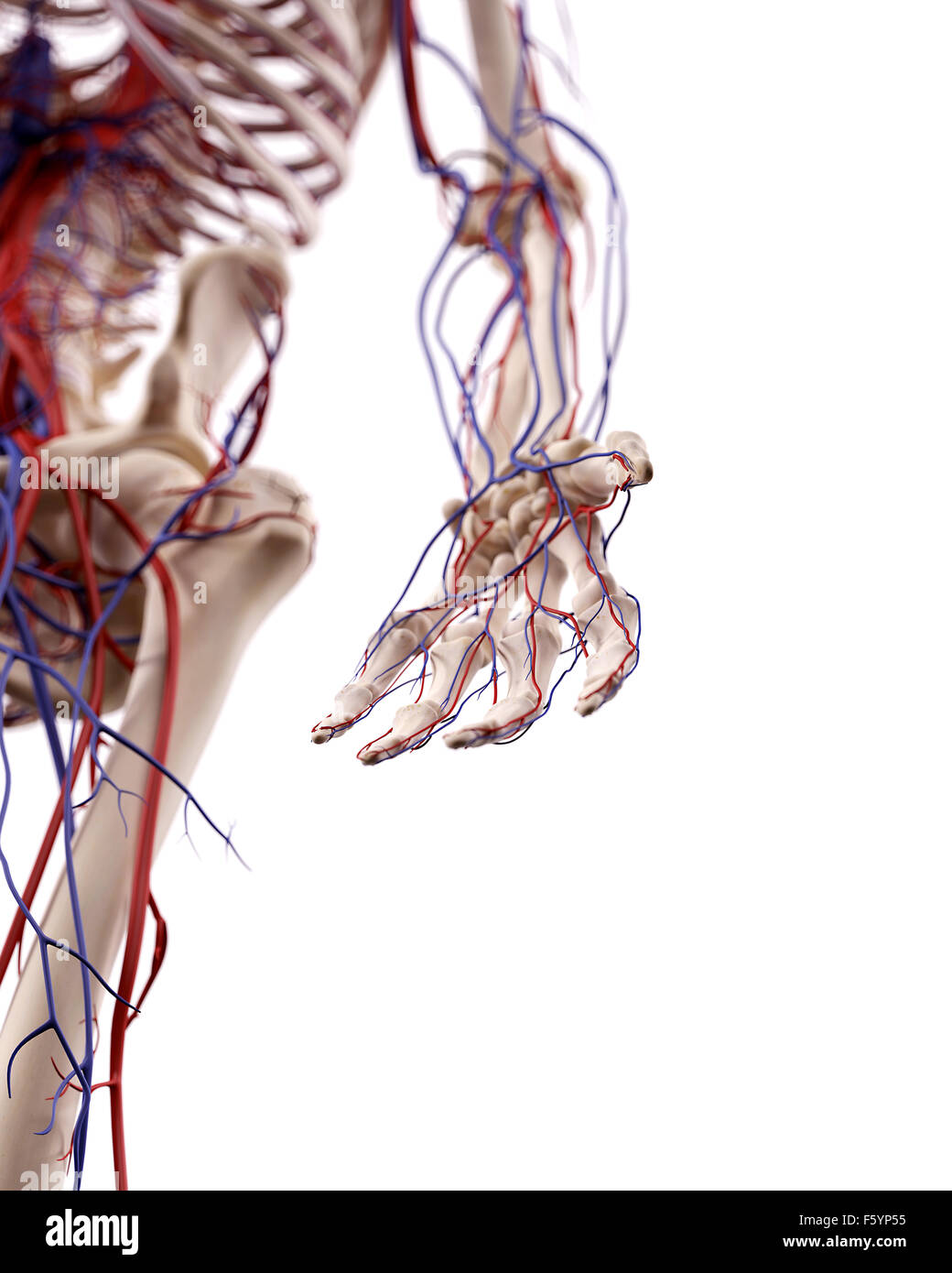 Blood Vessels Arm Stock Photos & Blood Vessels Arm Stock Images - Alamy