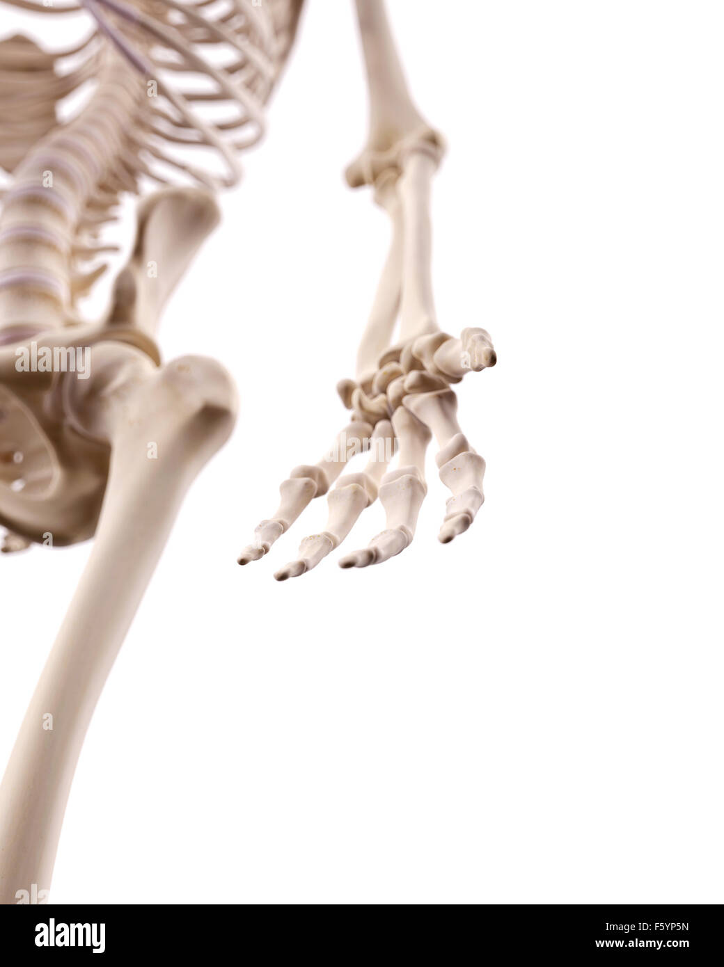 medically accurate illustration of the hand bones - Stock Image