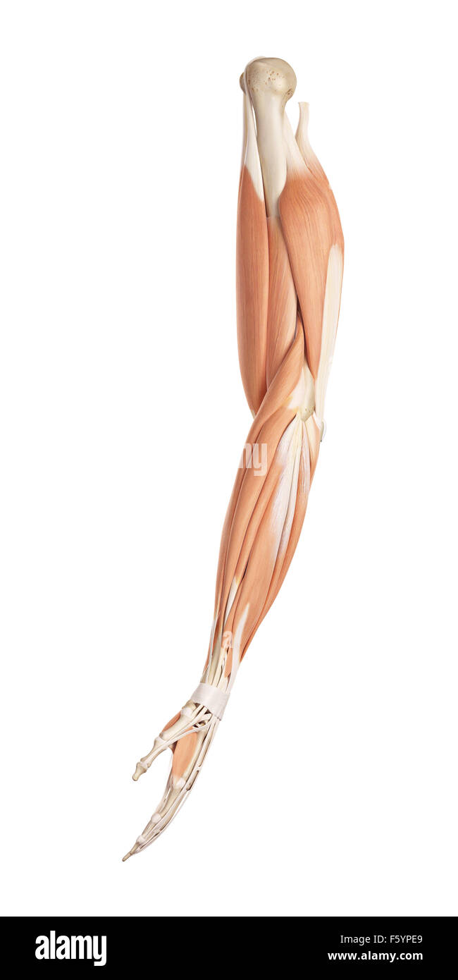 Arm Muscles Stock Photos Arm Muscles Stock Images Alamy