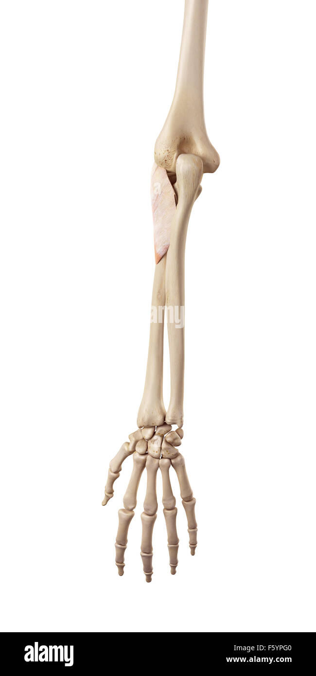 Supinator Muscle Cut Out Stock Images Pictures Alamy