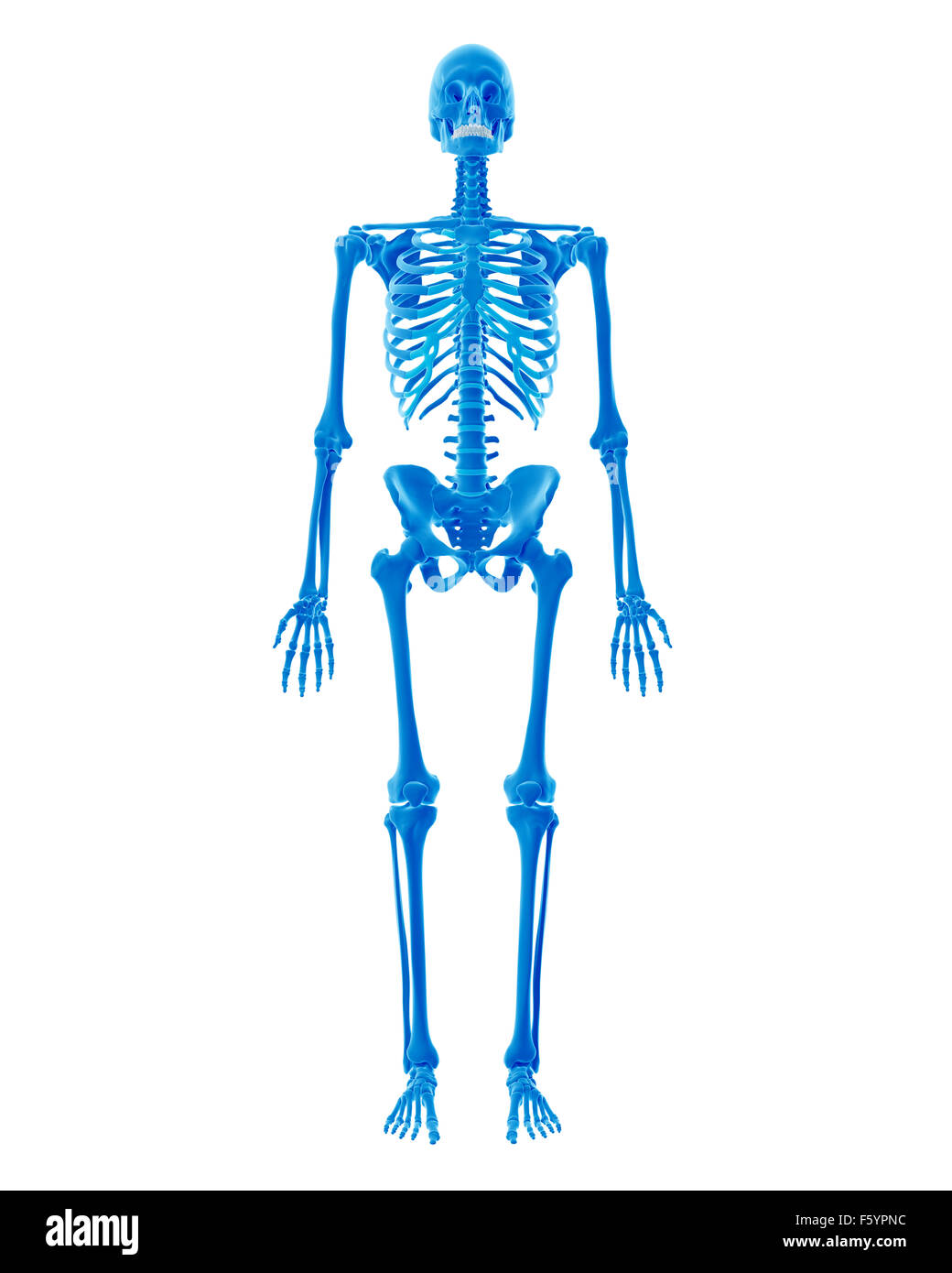 Male Human Skeleton Stock Photos Male Human Skeleton Stock Images