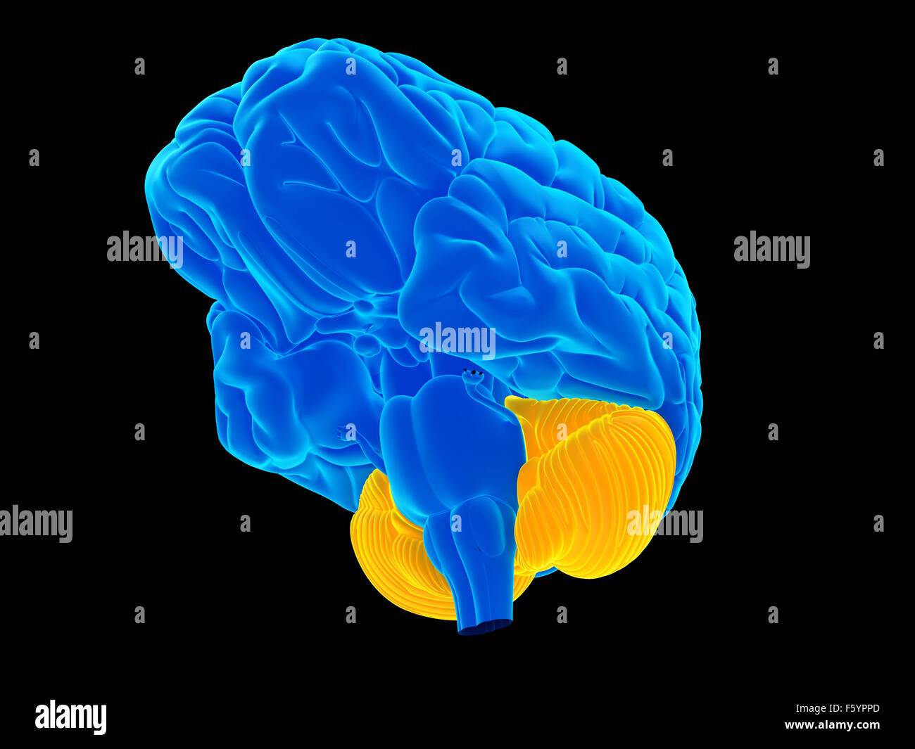 medically accurate illustration of the cerebellum - Stock Image