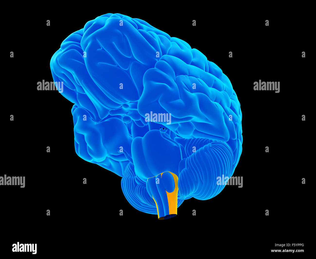 medically accurate illustration of the medulla oblongata - Stock Image