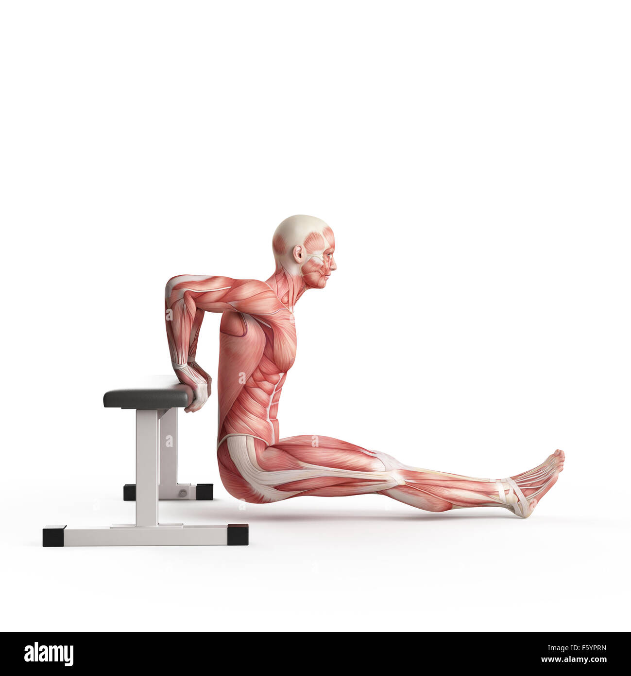exercise illustration - bench dip - Stock Image
