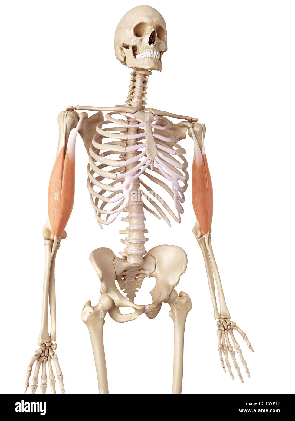 medical accurate illustration of the biceps - Stock Image