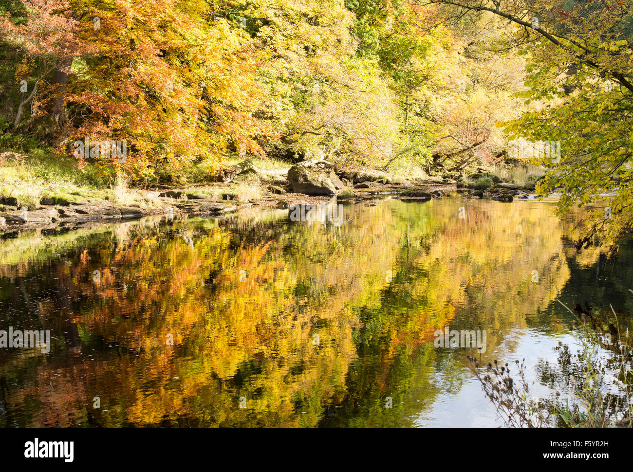 Autumnal colours in 'Strid Wood' (3), Bolton Abbey, Yorkshire Dales National Park, England, UK - Stock Image