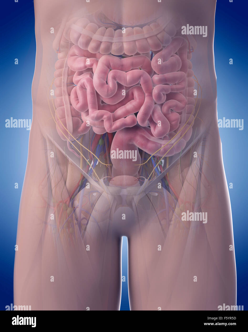 medically accurate illustration of abdominal anatomy - Stock Image