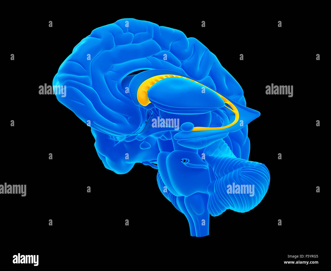 medically accurate illustration of the caudate nucleus - Stock Image
