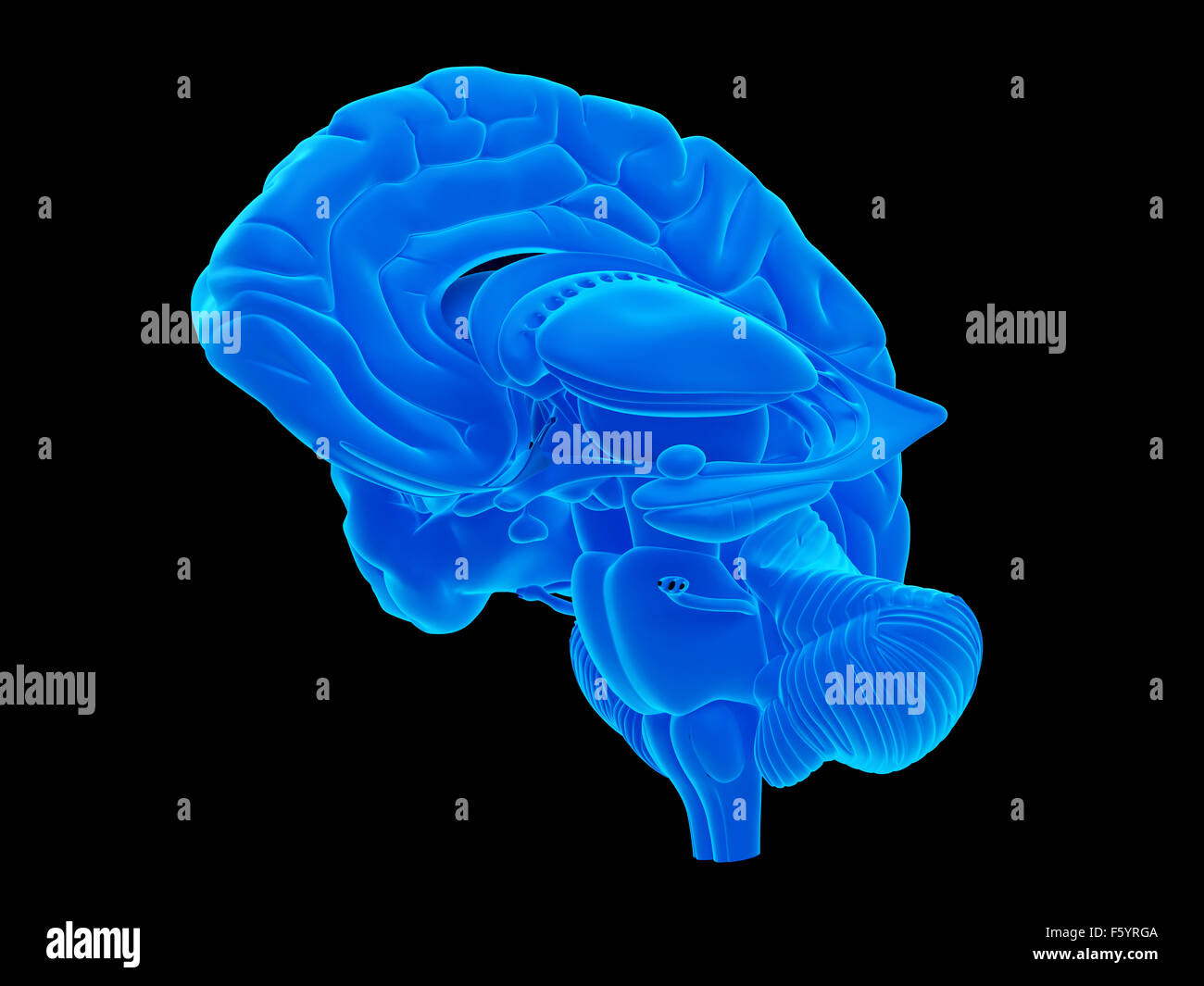 medically accurate illustration of the internal brain anatomy - Stock Image
