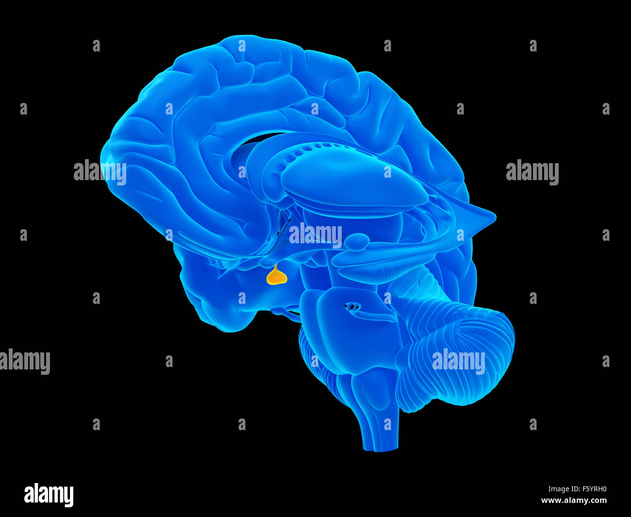 Pituitary Gland Stock Photos Pituitary Gland Stock Images Alamy
