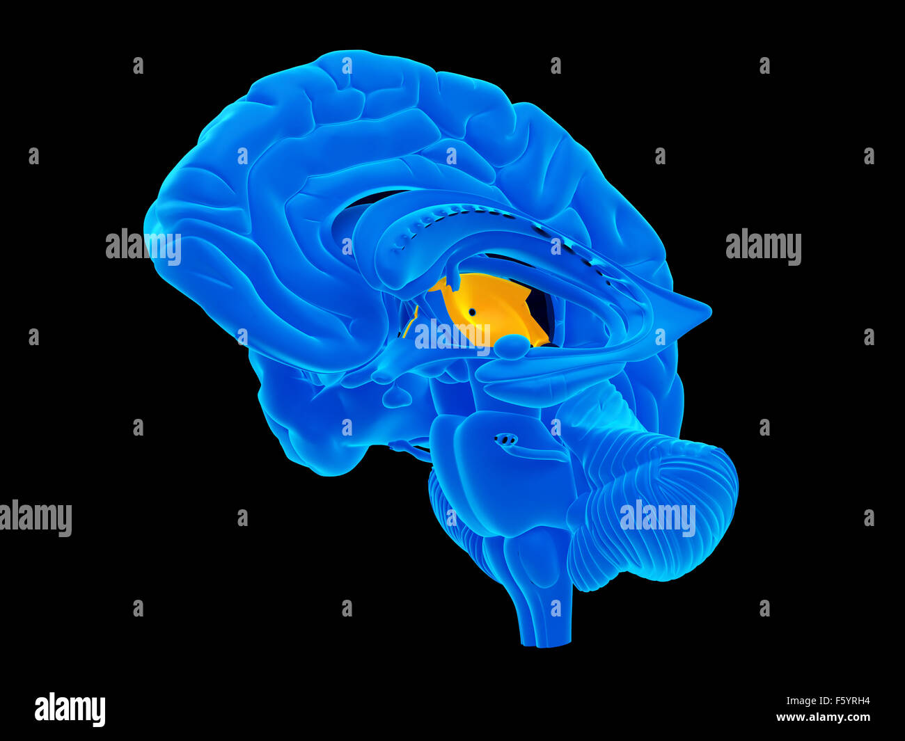 medically accurate illustration of the thalamus - Stock Image