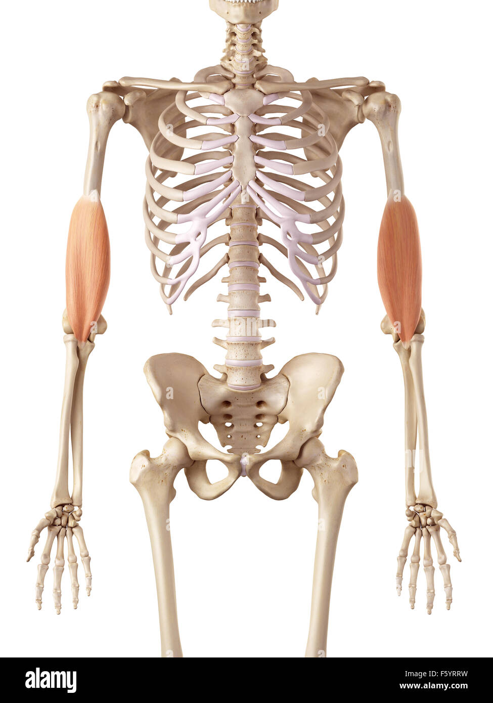 medical accurate illustration of the brachialis Stock Photo ...