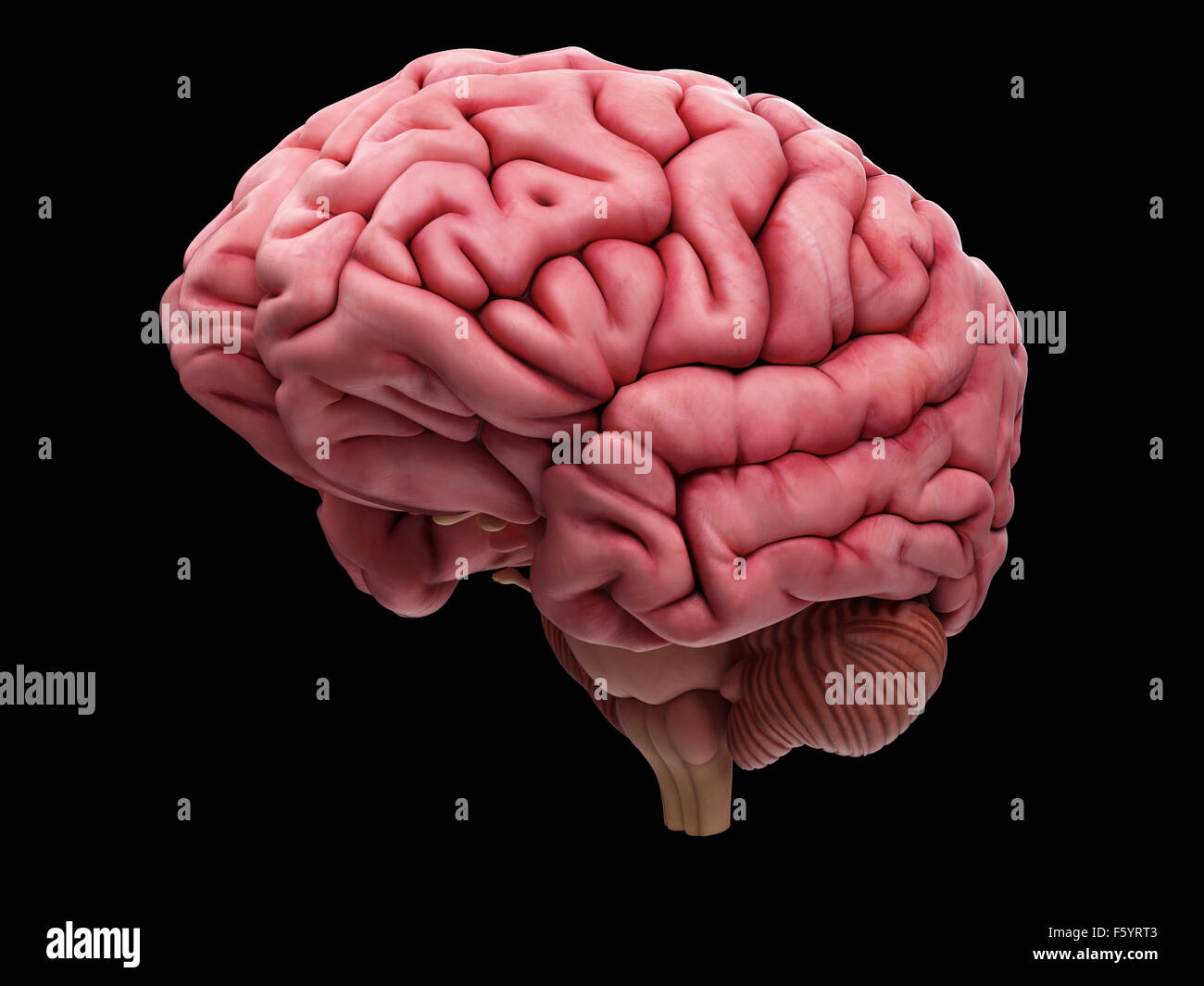 medically accurate illustration of the brain - Stock Image