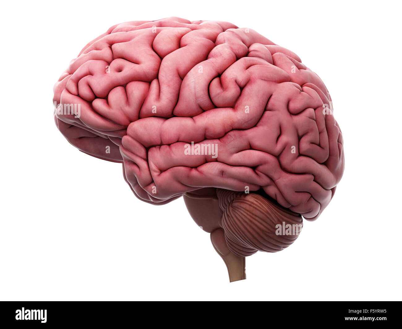medically accurate illustration of the brain Stock Photo