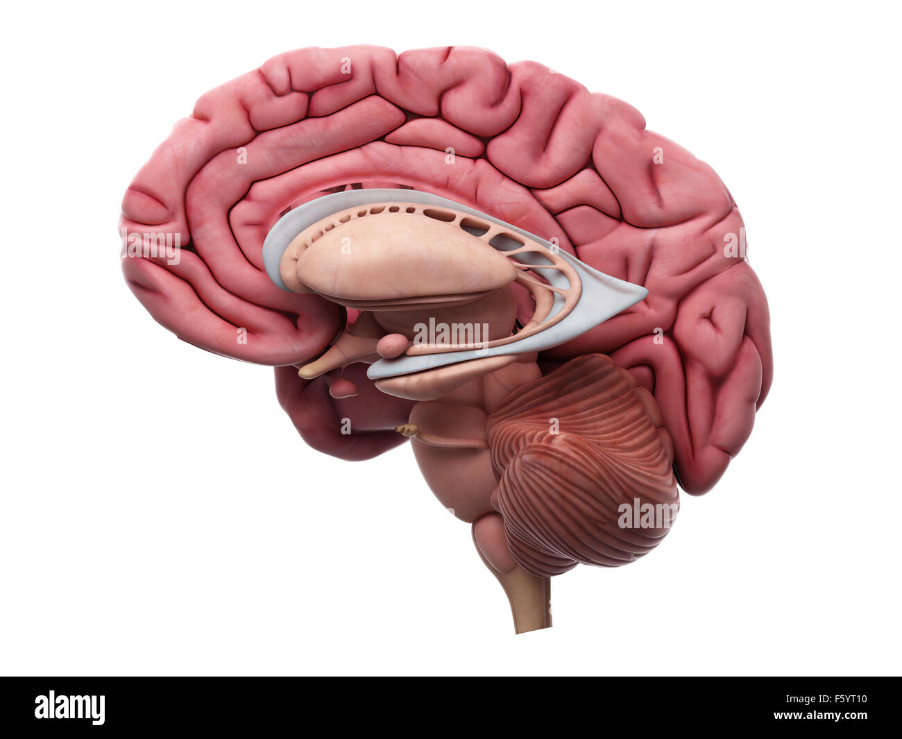 medically accurate illustration of the brain anatomy - Stock Image