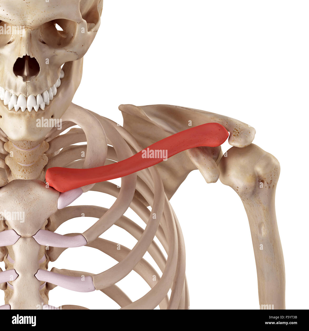 medical accurate illustration of the clavicle - Stock Image