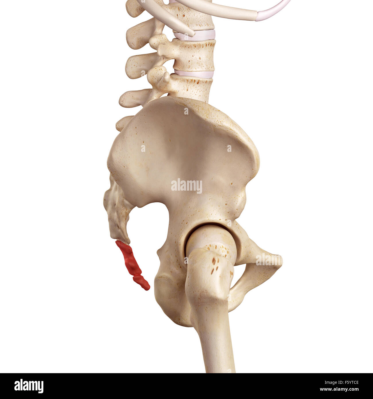 medical accurate illustration of the cocycx - Stock Image
