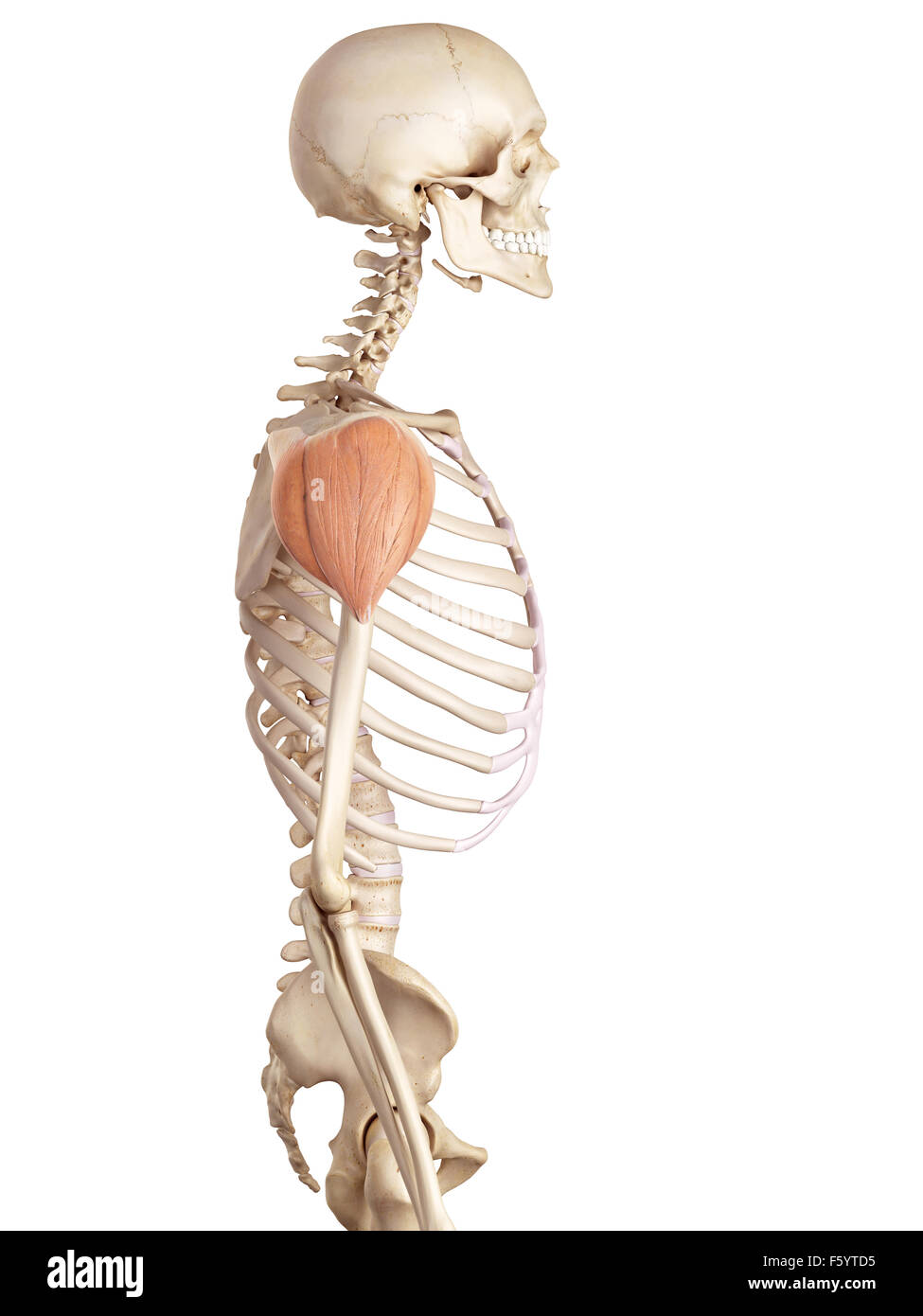 medical accurate illustration of the deltoid Stock Photo