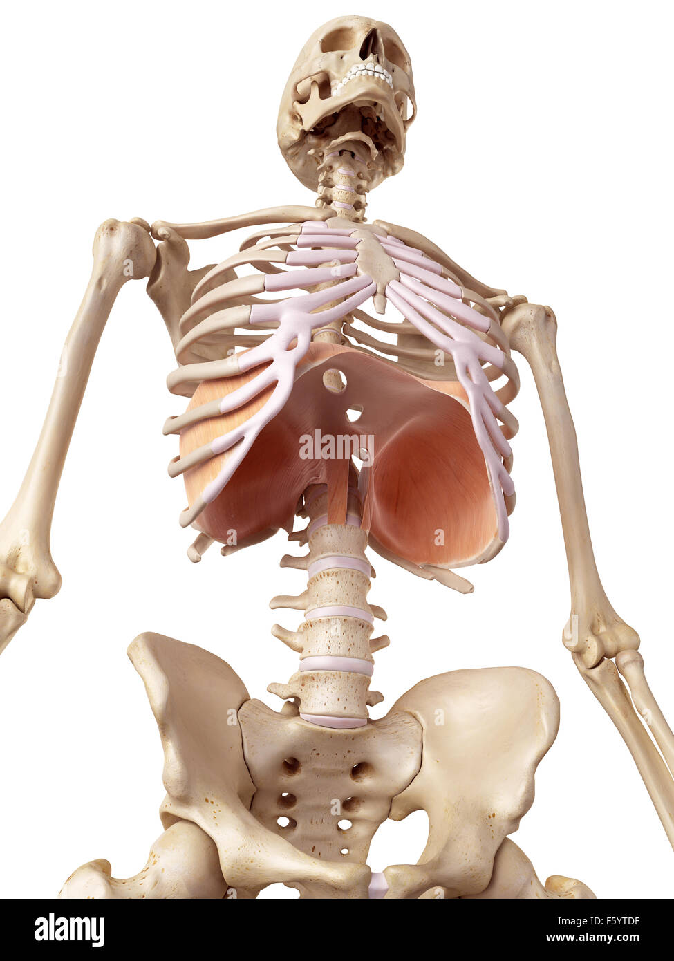 medical accurate illustration of the diaphragm - Stock Image