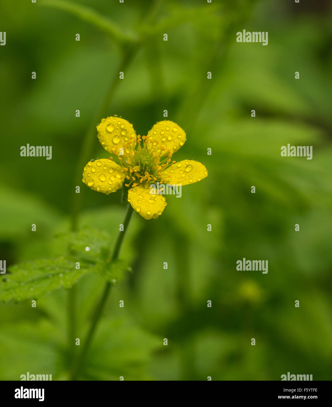 Yellow spring flower with five petals covered by small water drops yellow spring flower with five petals covered by small water drops after rain mightylinksfo