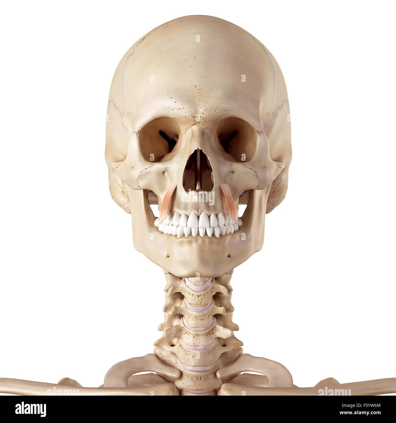 medical accurate illustration of the levator anguli oris Stock Photo