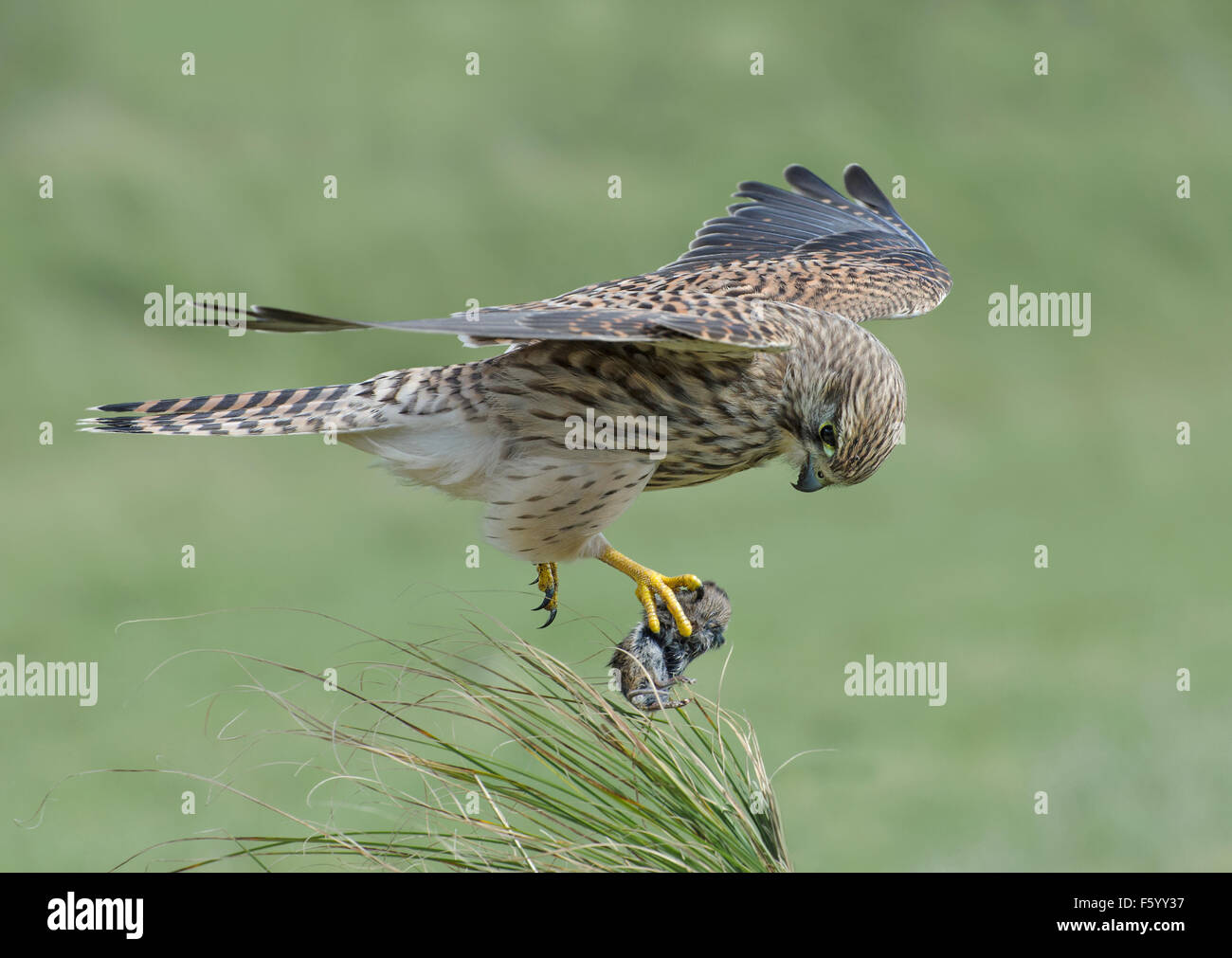 Side view of wild flying Kestrel with a vole in its claw - Stock Image
