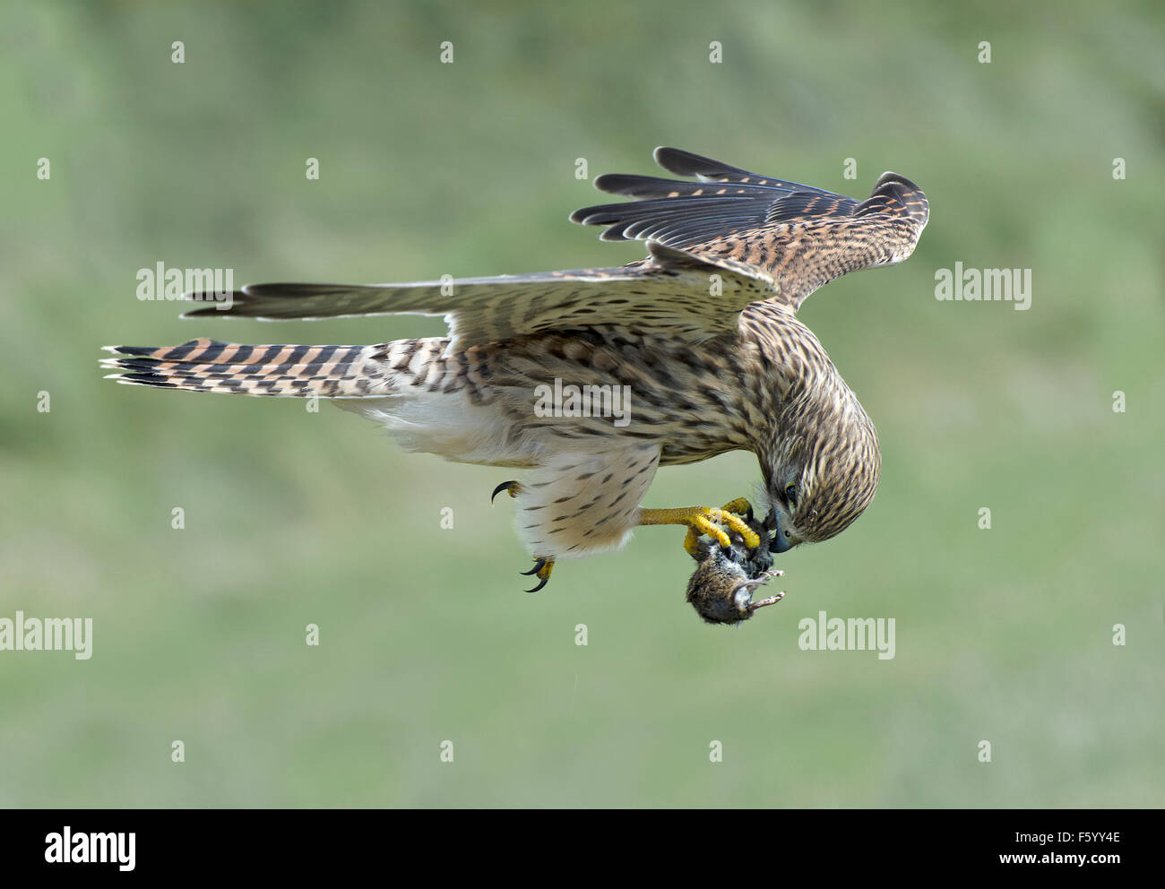 Side view of wild flying Kestrel biting into a vole held in its claw - Stock Image