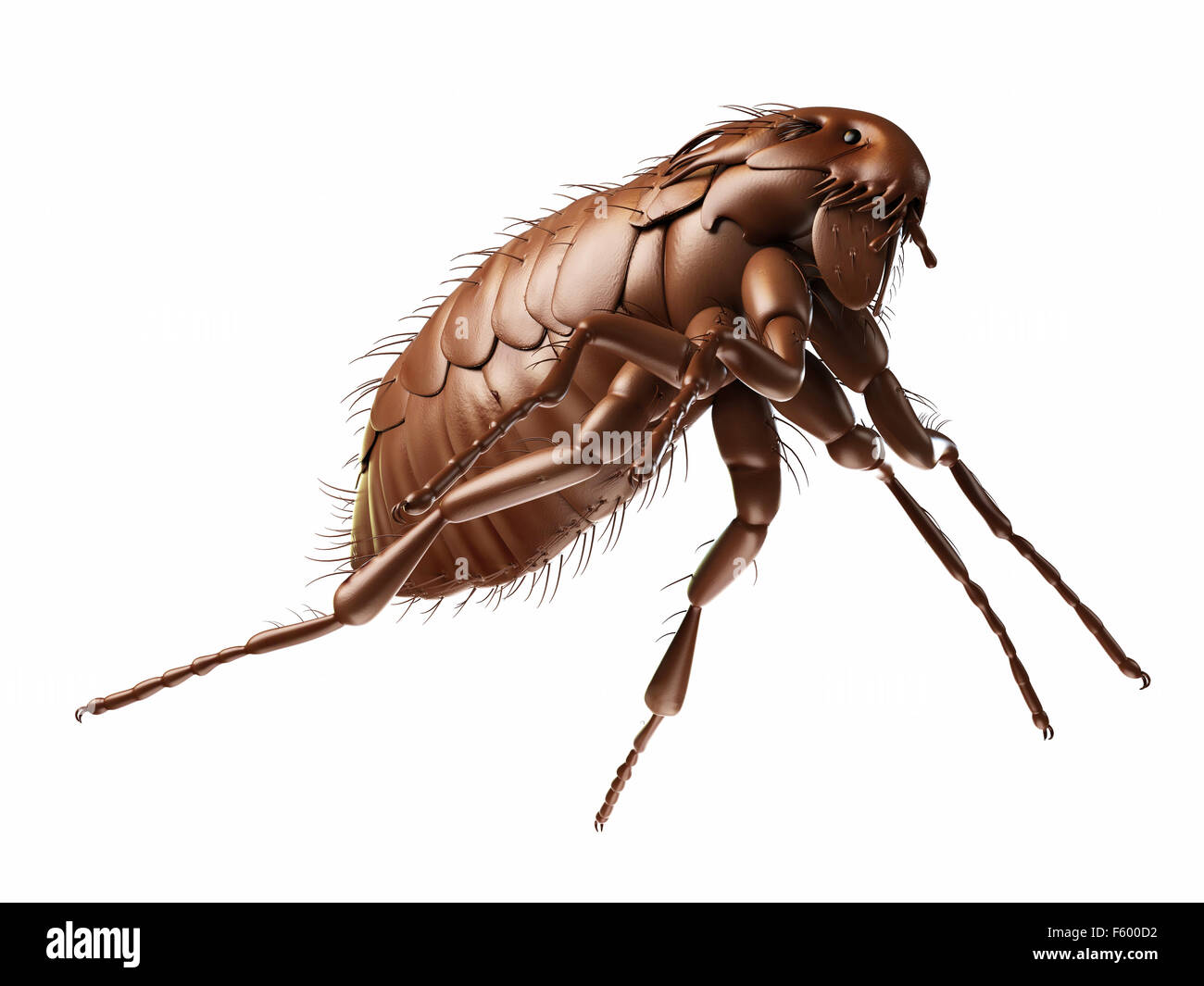 medically accurate illustration of a flea - Stock Image