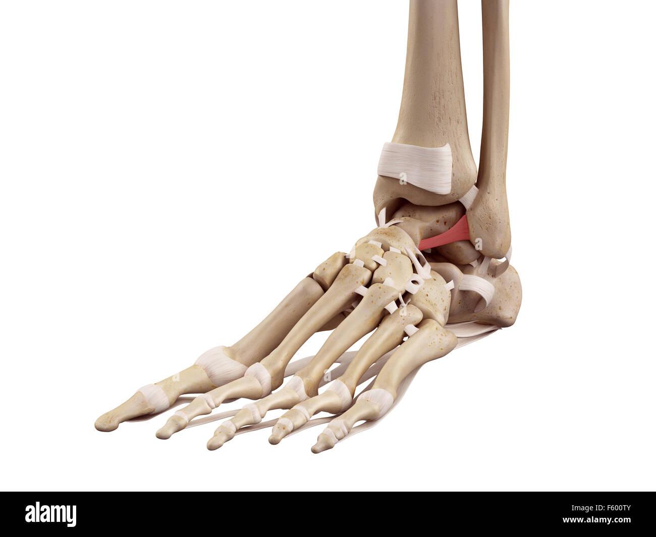 medical accurate illustration of the anterior talofibular ligament - Stock Image