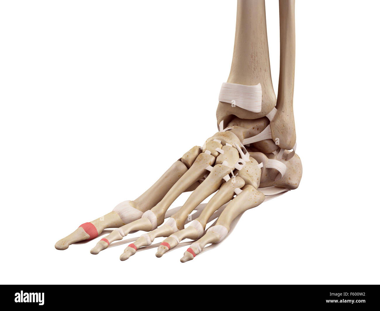 medical accurate illustration of the distal joint capsules - Stock Image