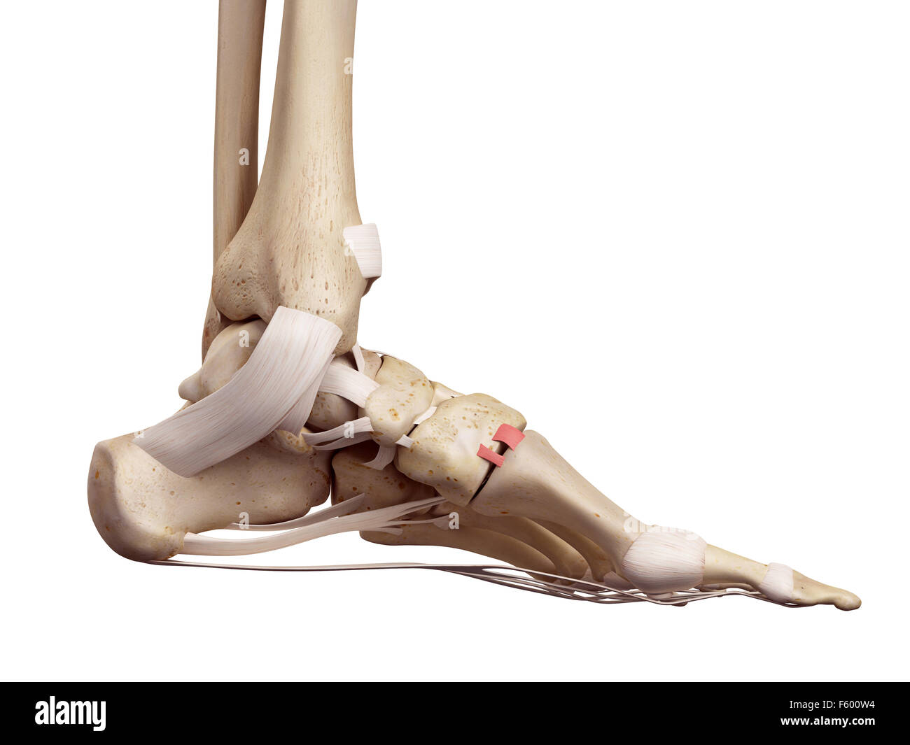 medical accurate illustration of the dorsal tarsometatarsal ligament - Stock Image