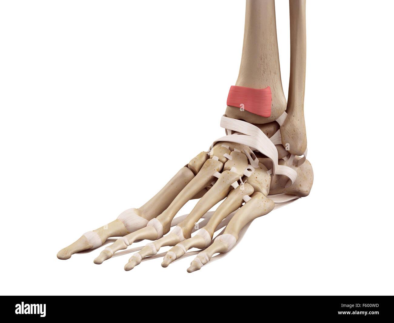 medical accurate illustration of the inferior extensor retinaculum - Stock Image