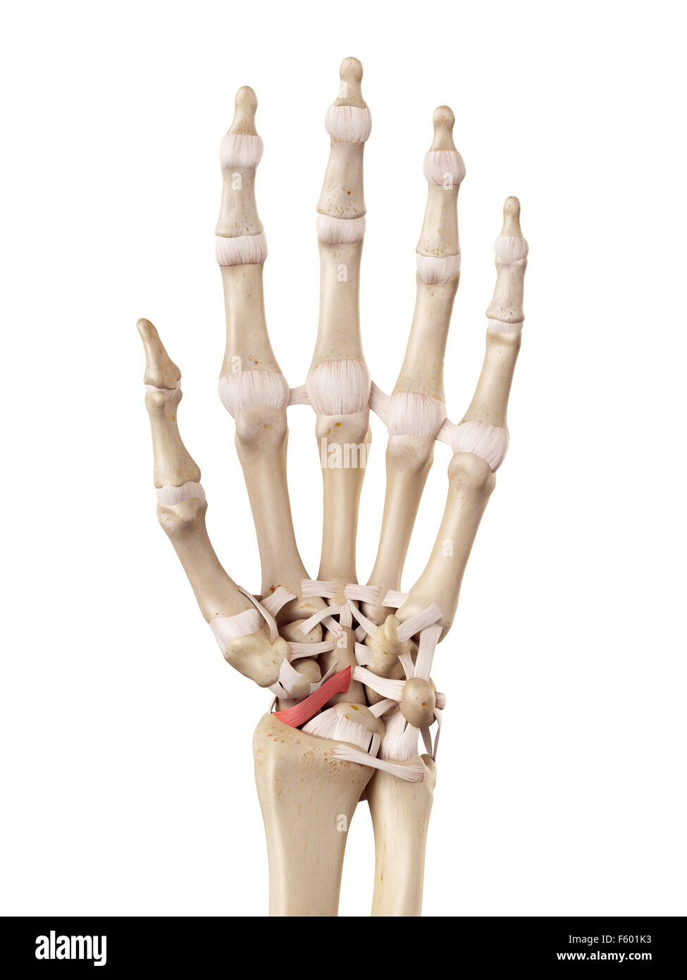 medical accurate illustration of the - Stock Image