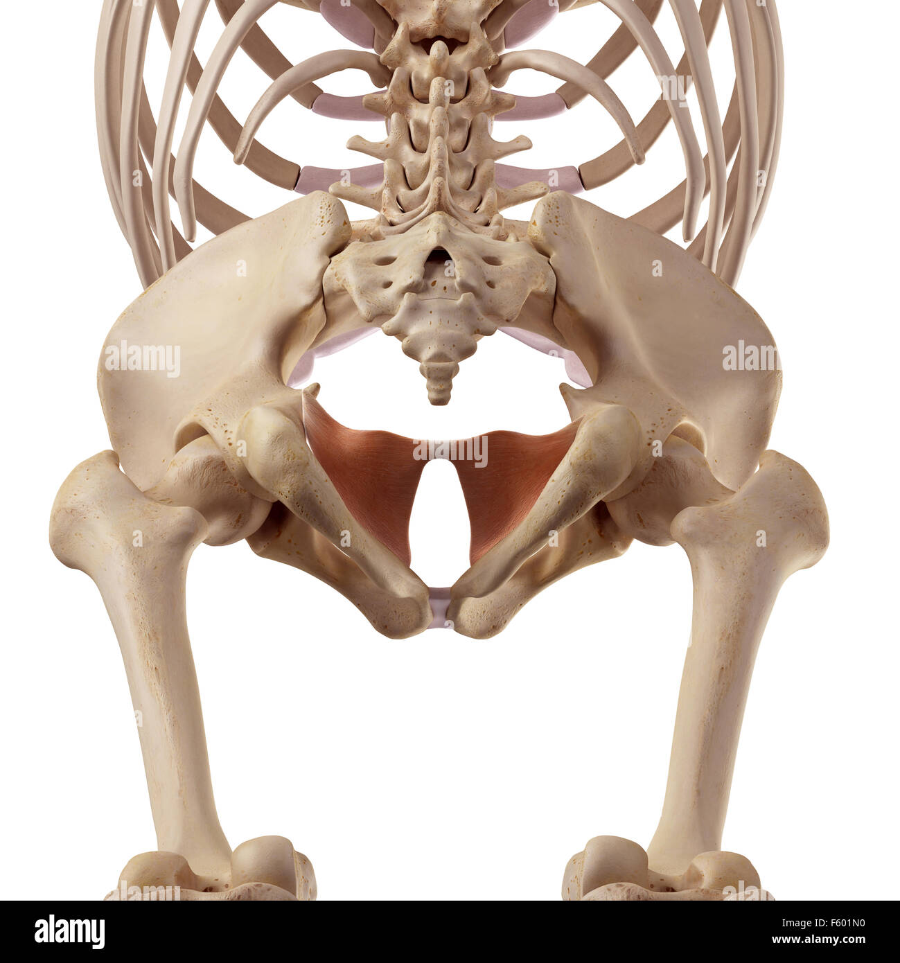 medical accurate illustration of the coccygeus - Stock Image