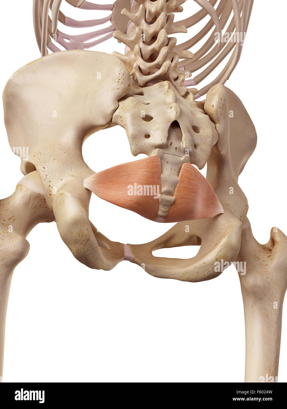 medical accurate illustration of the iliococcygeus - Stock Image