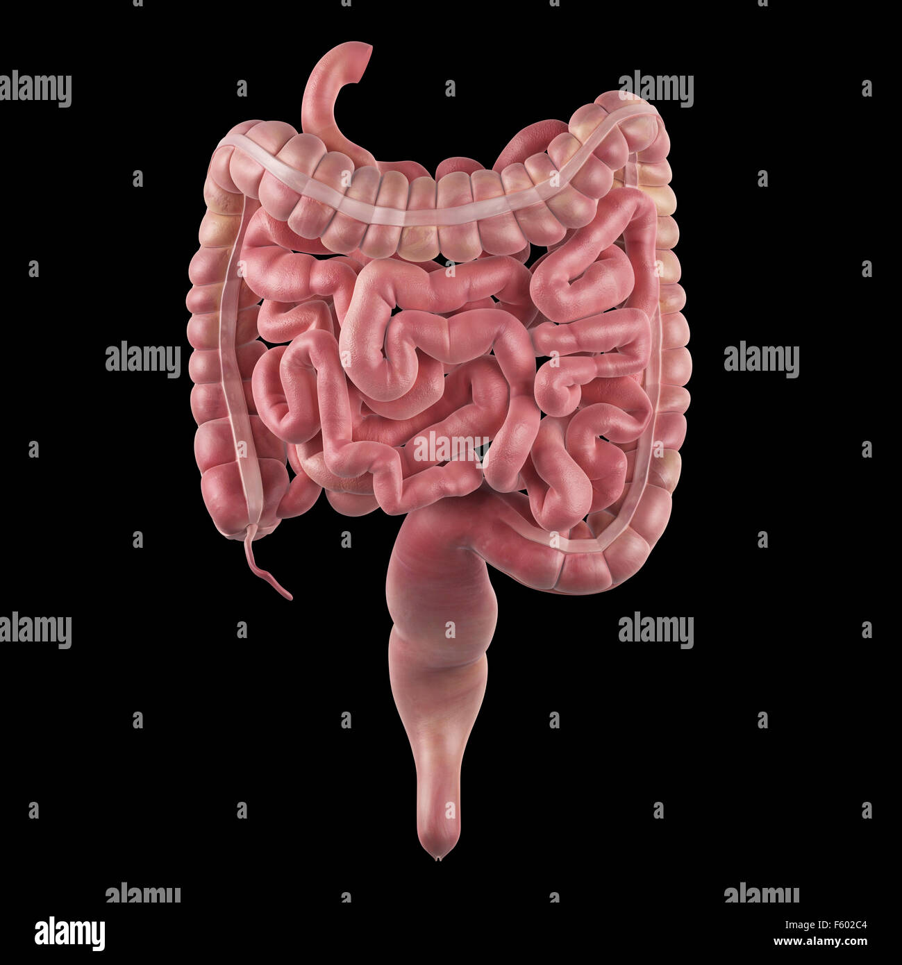 Medically Accurate Illustration Small Intestine Stock Photos
