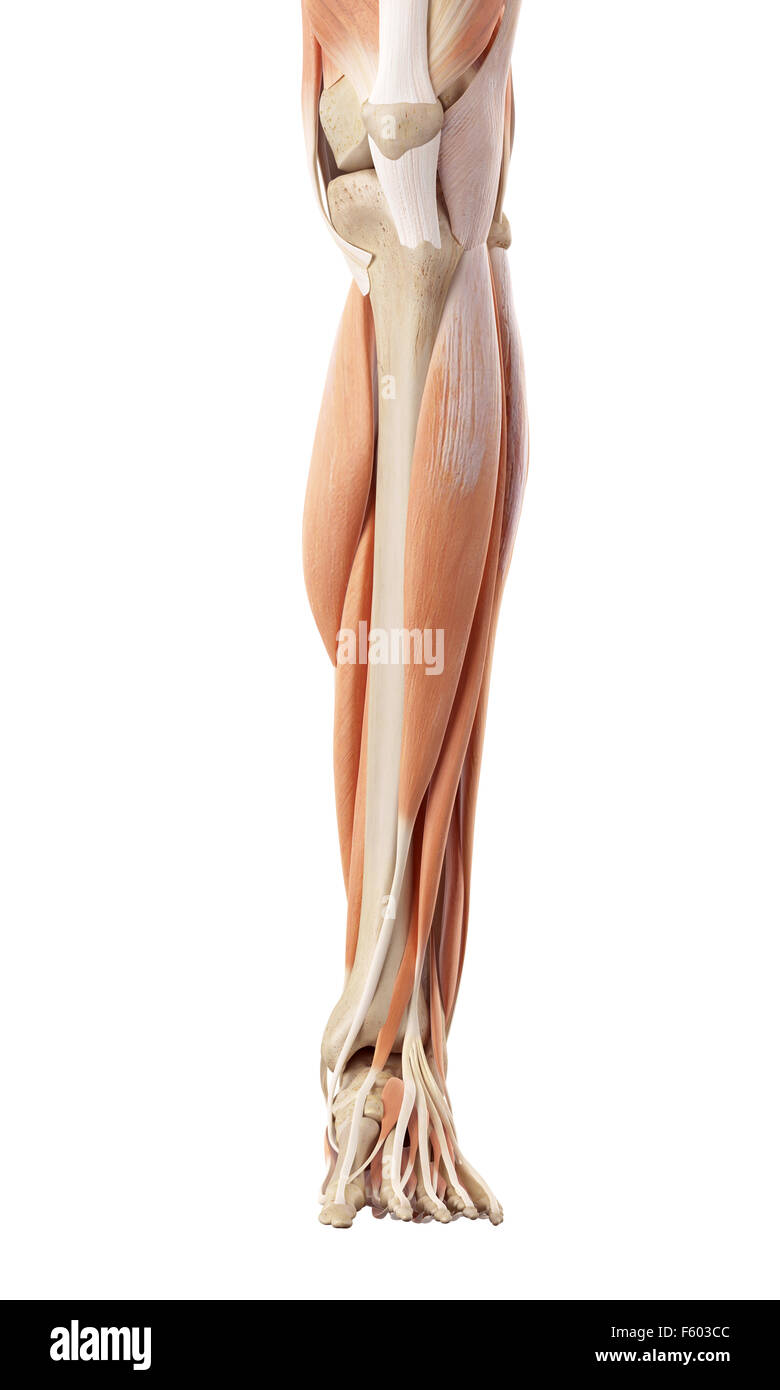 Lower Leg Anatomy Stock Photos Lower Leg Anatomy Stock Images Alamy