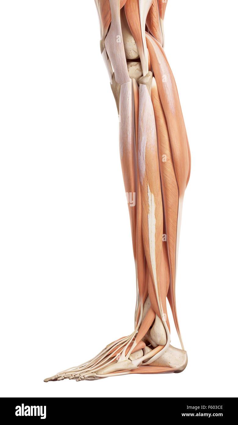 Lower Leg Anatomy Stock Photos Lower Leg Anatomy Stock Images Alamy