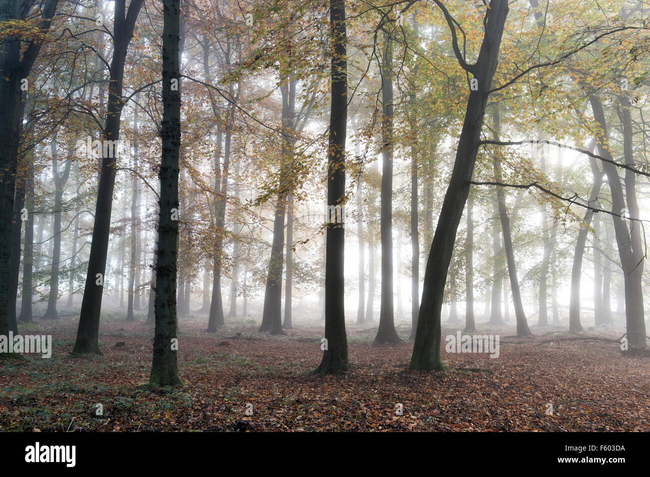 Fagus sylvatica. Beech tree woodland and autumn mist. UK - Stock Image