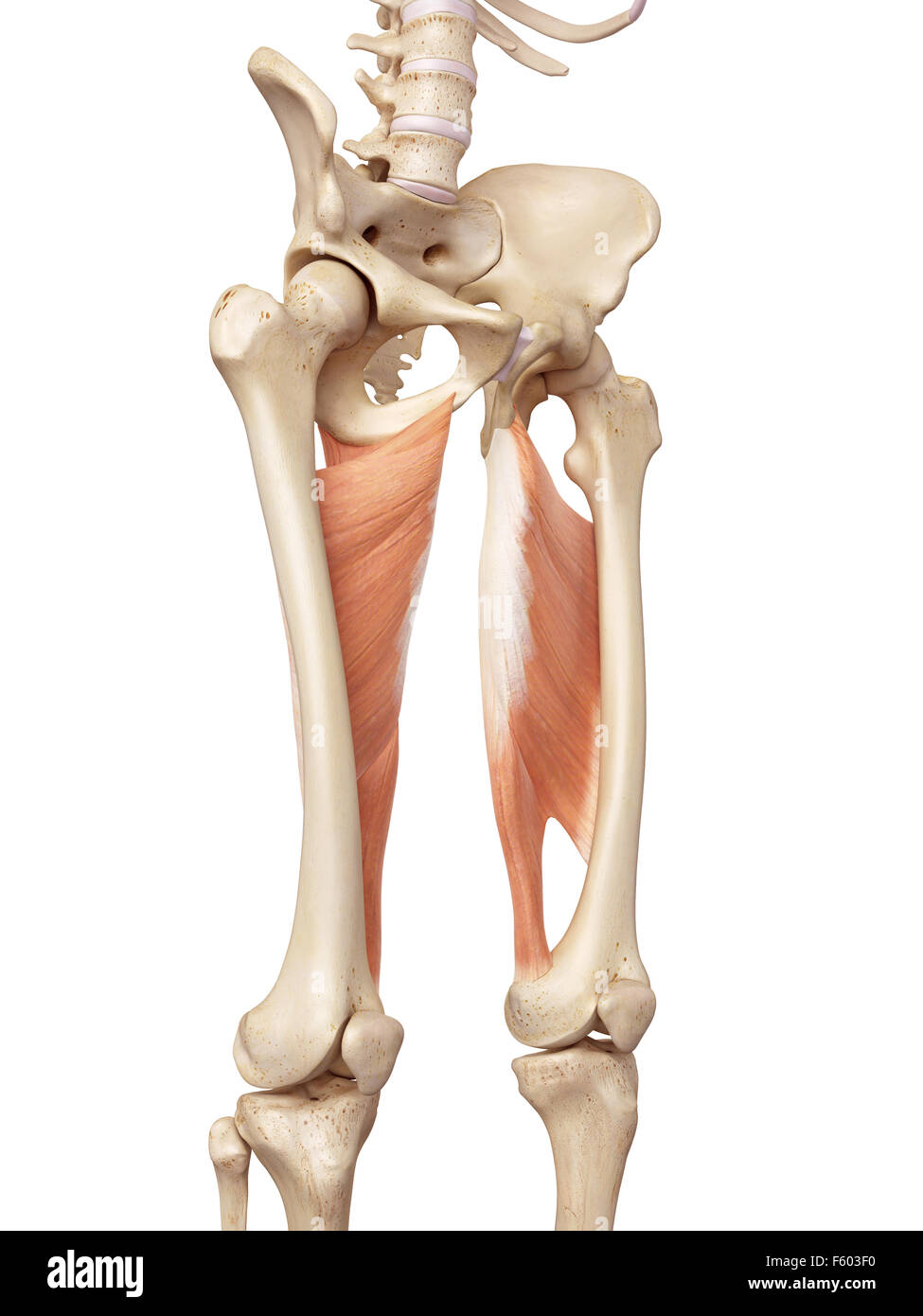 medical accurate illustration of the adductor magnus - Stock Image