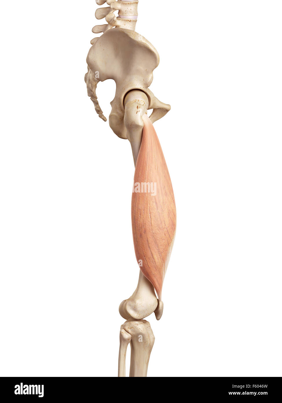 medical accurate illustration of the vastus lateralis - Stock Image