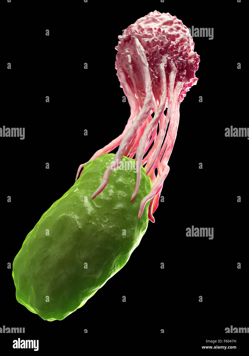medically accurate illustration of a white blood cell engulfing a bacteria Stock Photo